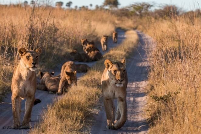 lions-conservation
