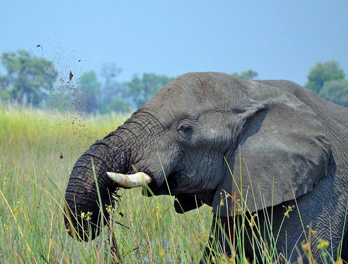 elephant-botswana