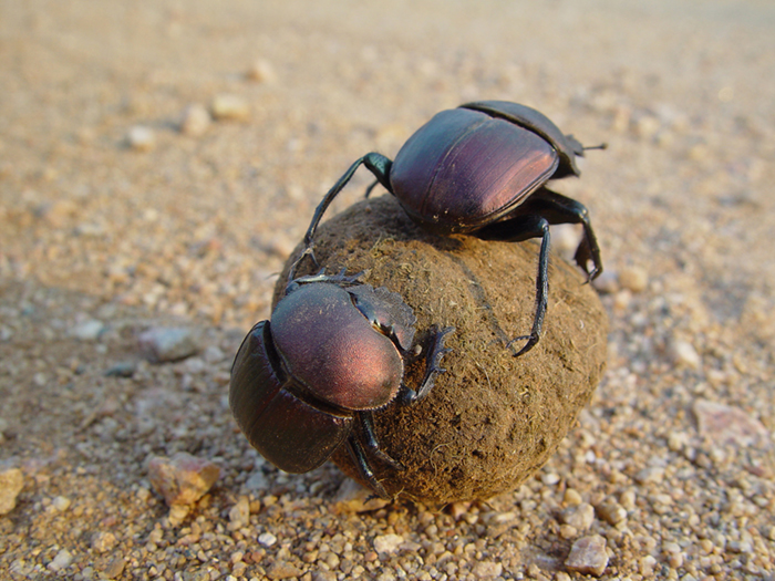 Image result for african dung beetle