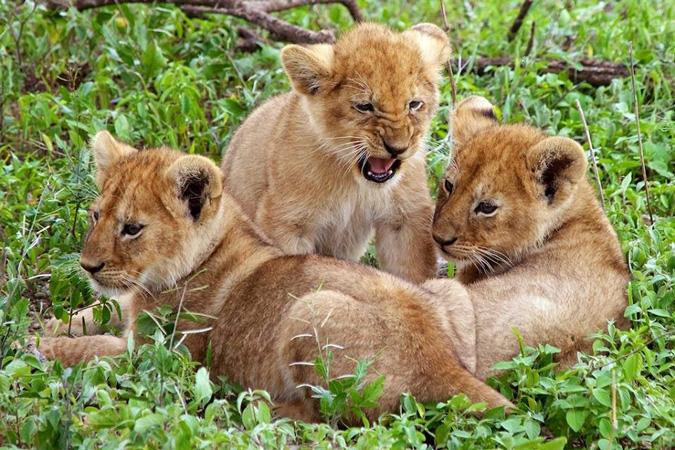 Serengeti, lion cubs