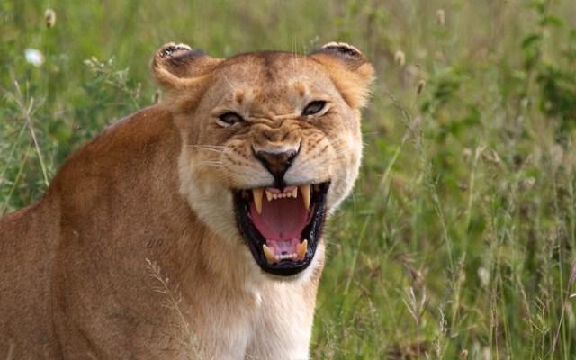 Serengeti, lion