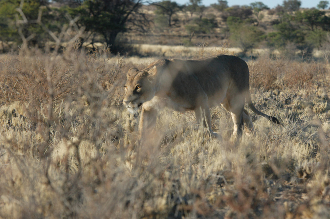 A lioness on the prowl in theKgalagadi Transfrontier Park