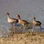 Swimming Egyptian Geese, South Africa
