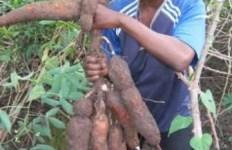 Cassava /Manioc Tuber - tubercules de Manioc cassava root 2