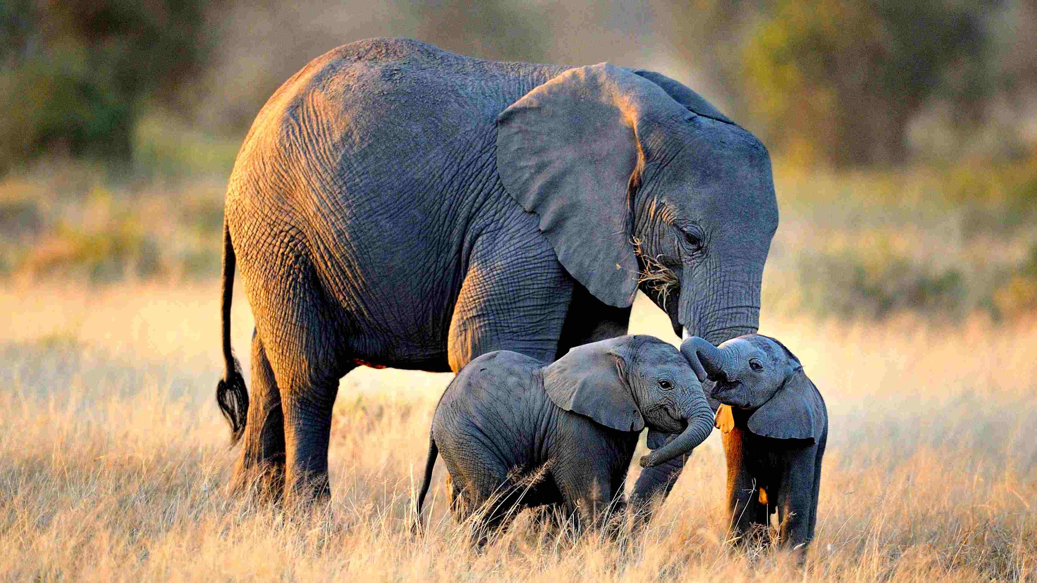 Zimbabwe China baby elephants   Journal of African Elephants