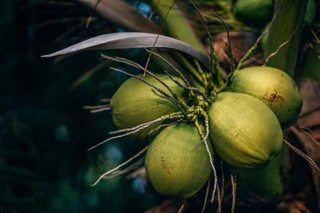 Coconut Value Chain