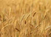 محصول الحبوب يرتفع بـ 70 % والأمطار السّابقة لموسم الحصاد ليست كارثيّة