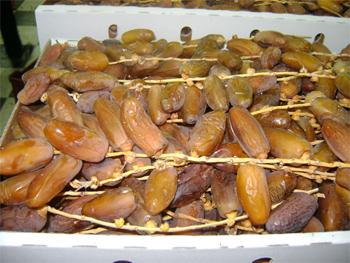 Il est prévu que la récolte des dattes soit prometteuse pour cette saison étant donné que la récolte s'est élevée à 50 mille tonnes.