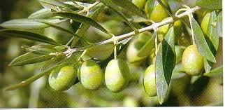 Le complexe culturel Bir Lahjar et le Groupe Tazammourt (mot amazigh signifiant olivier) organisent une manifestation « L'olivier entre art et patrimoine »