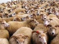 Toutes les garanties sanitaires et phytosanitaires sont remplies chez les moutons importés de Roumanie