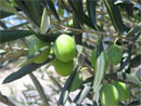 Les prévisions du ministère de l'agriculture tablent sur une production de 900 mille tonnes d'olives