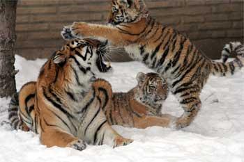 Une dizaine de tigres auraient été abattus en mars 2014 pour le plaisir