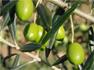 Selon les premières estimations de la direction générale de la production agricole