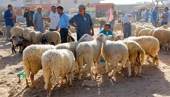 Les moutons espagnols sont vendus à 8