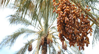 Augmentation de 23% des recettes provenant des exportations des dattes — Tunisie