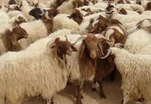 Tunisie : La société Ellouhoum démarre la vente des moutons de l'Aïd Kisdds.jpg?zoom=2
