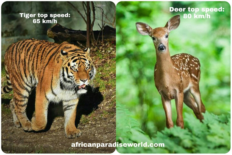 Speed of tiger vs speed of deer