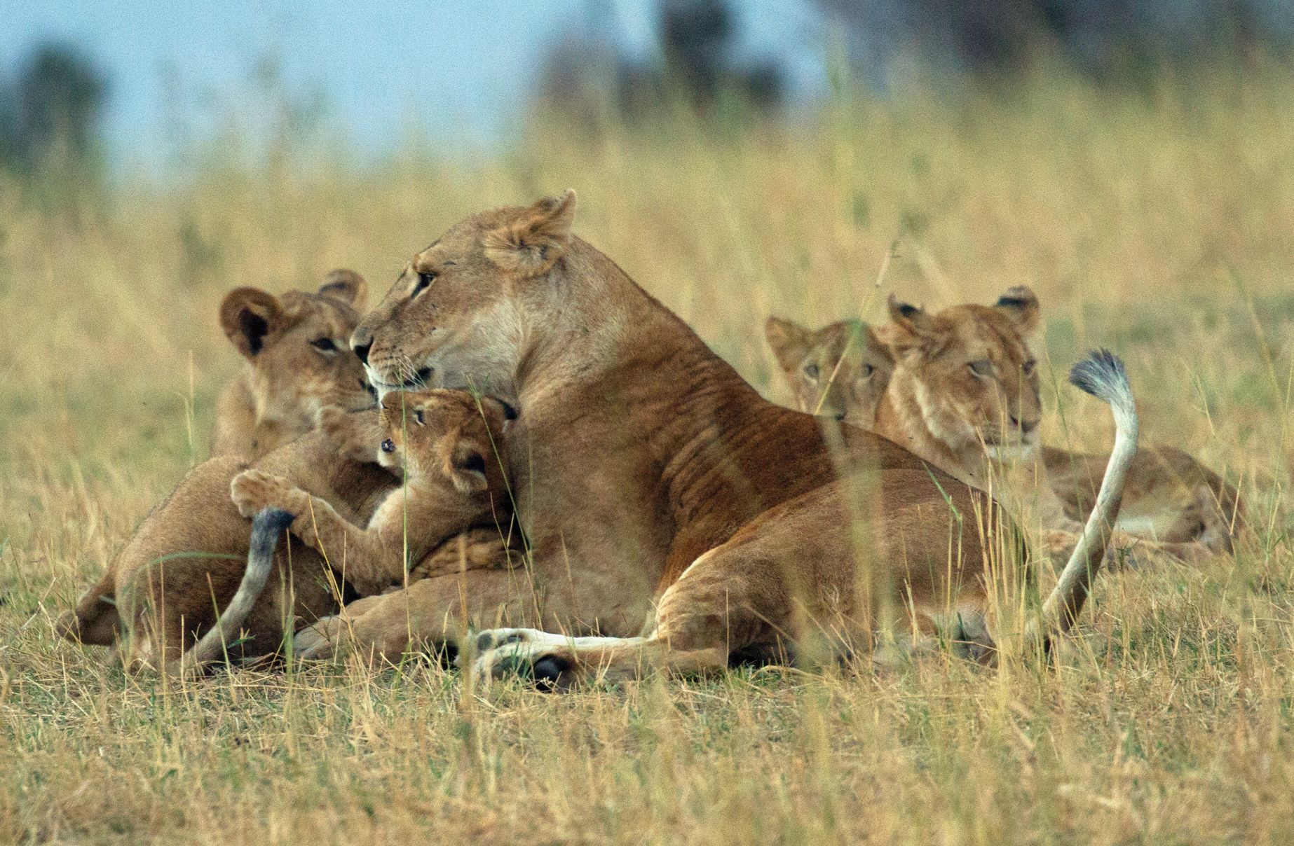 A lioness and cubs in northern Tanzania
