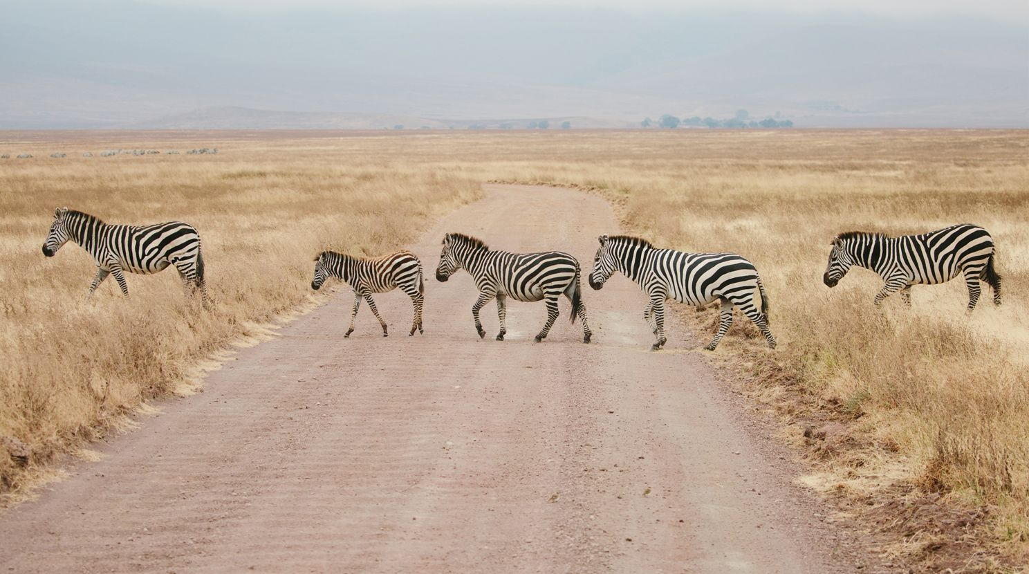 A herd of zebra in northern Tanzania's Engaruka Valley