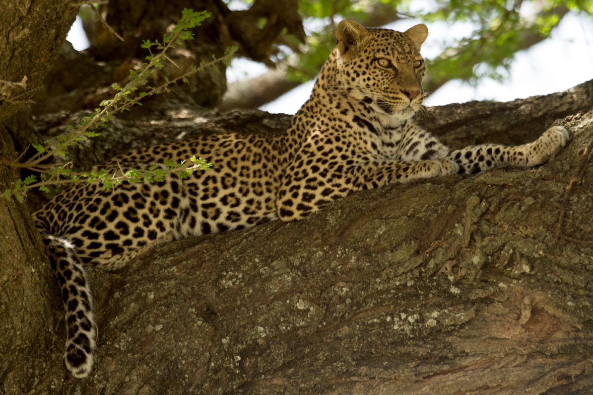 APW conserves leopards as part of its Northern Tanzania Big Cats Conservation Initiative