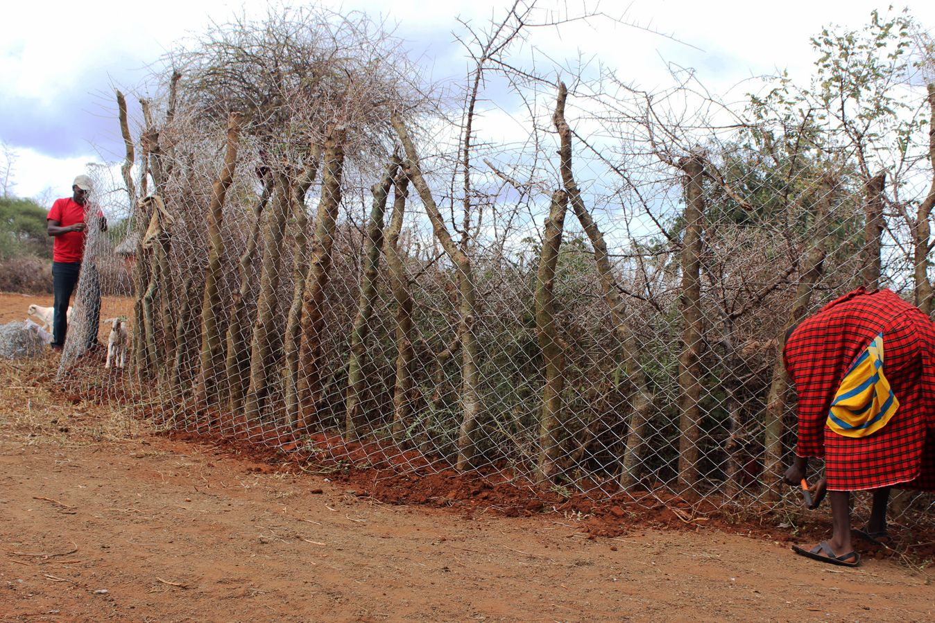Chain-link fencing is wrapped around a circle of trees to build a Living Wall.