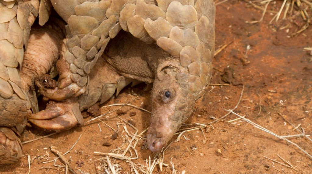 A male pangolin rescued by APW