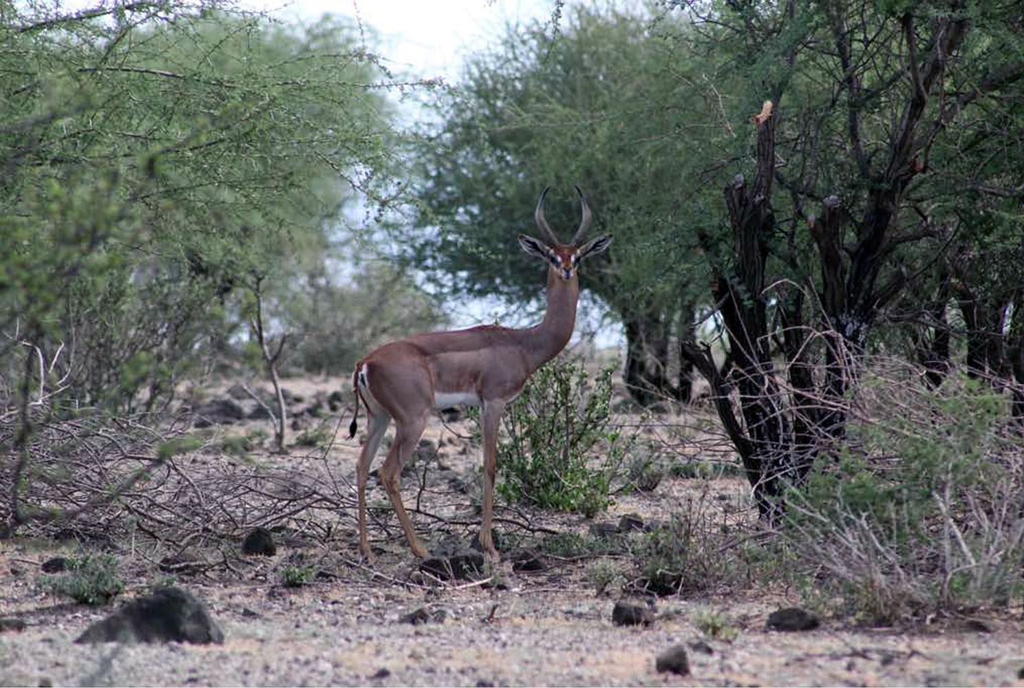 A rare gerenuk in northern Tanzania
