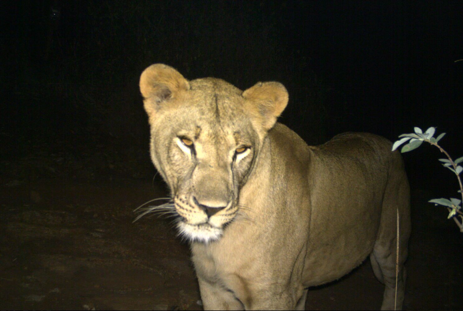 Camera trap image of a lioness in Tanzania