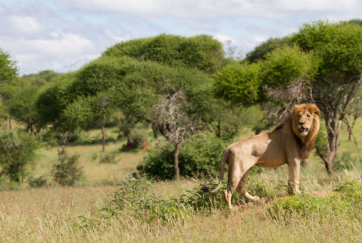 A male lion in the Tarangire ecosystem