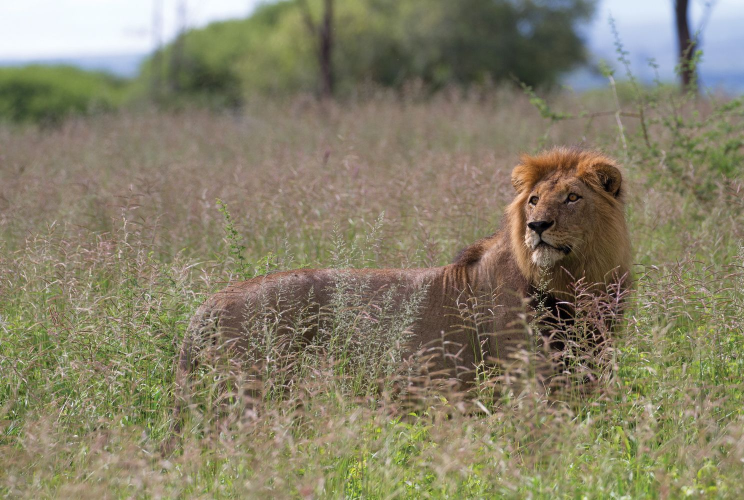 Male_Lion_Tanzania-compressor