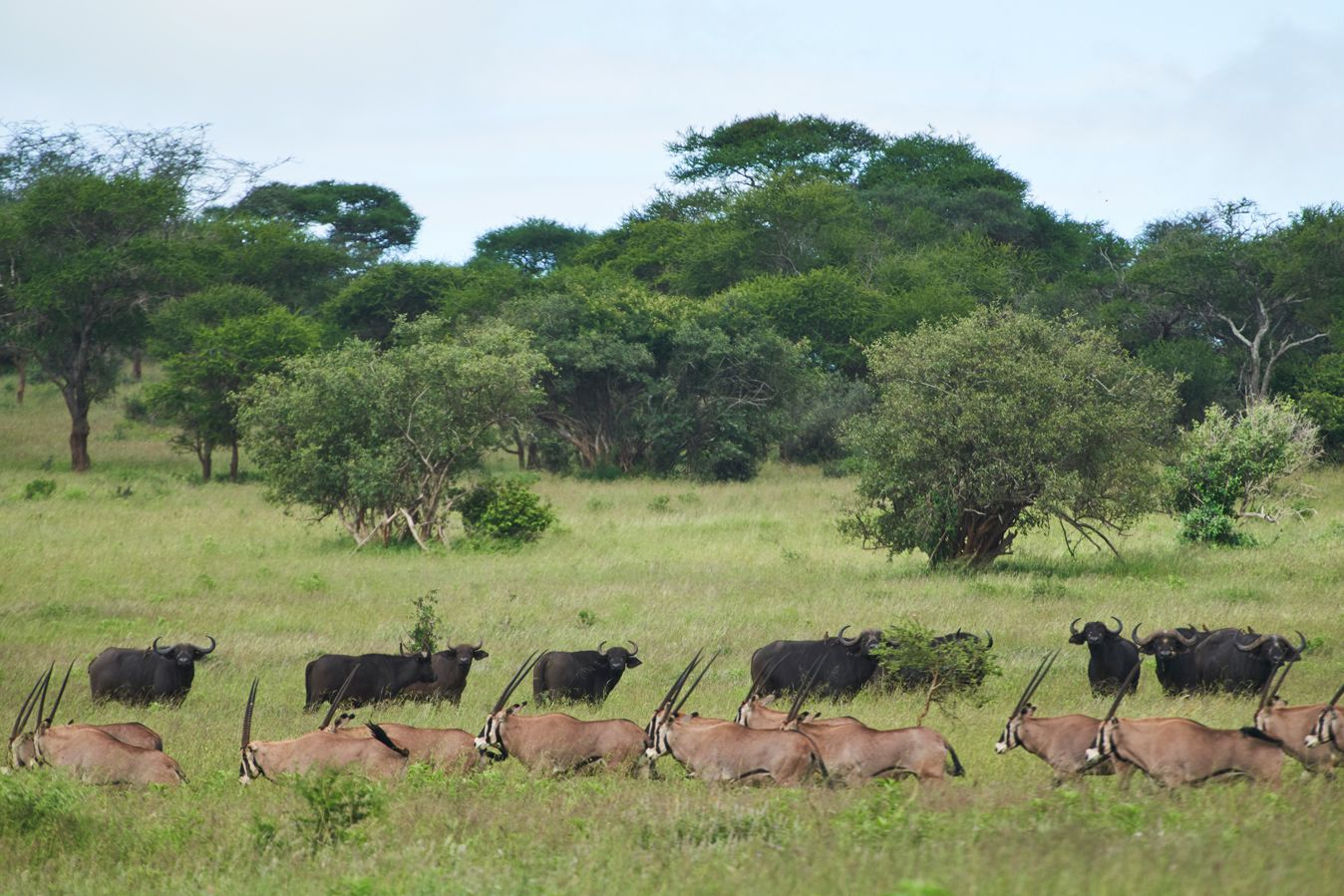 Fringe-eared oryx and buffalo in northern Tanzania