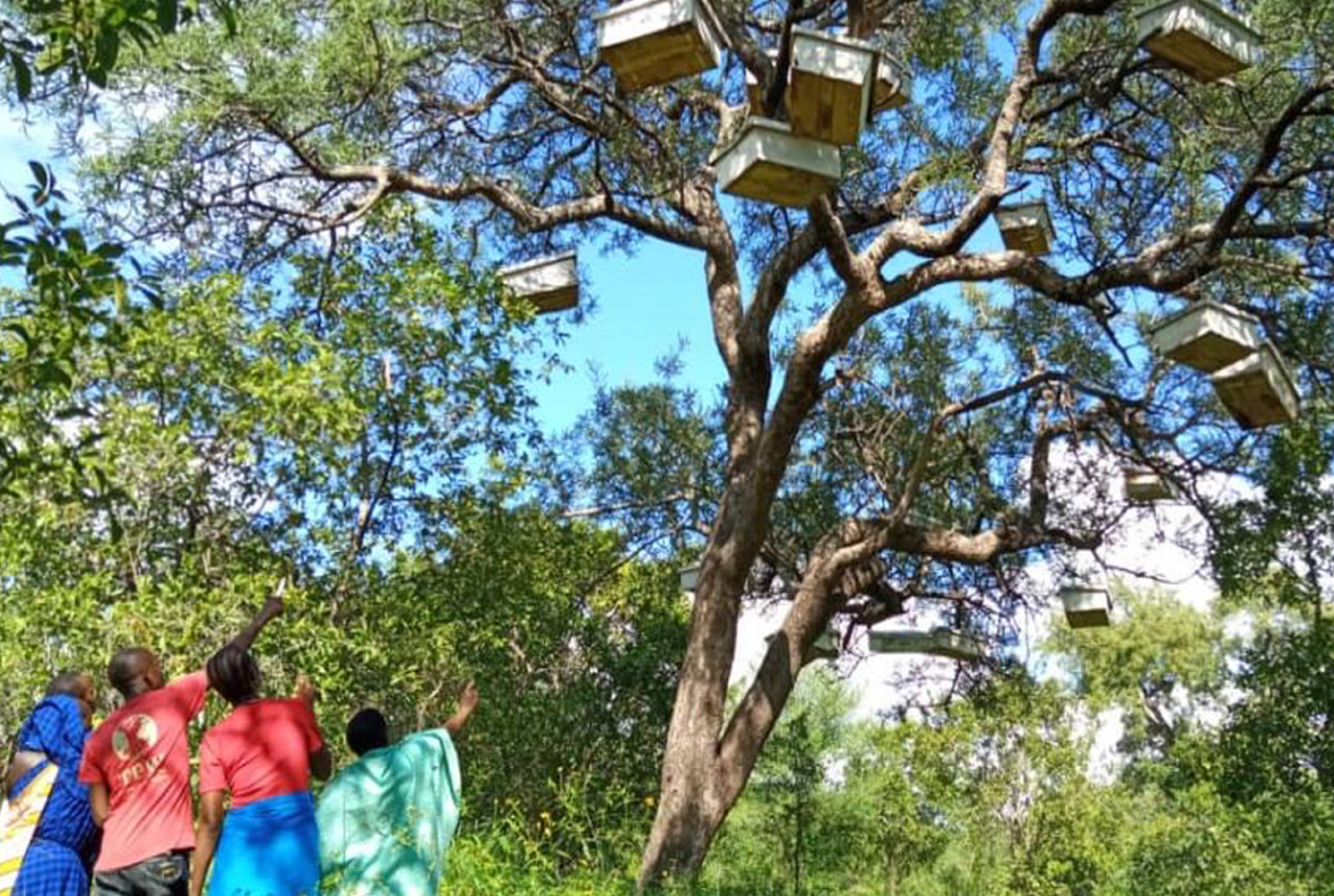 A group of people hanging beehives in a baobab tree