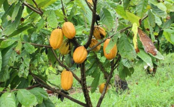 Ivory Coast cocoa farmers eye sun spell to boost cocoa yield