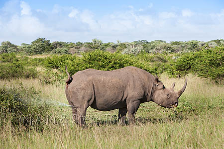 Should rhino horn trade be legalised?