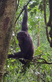 Kibale Forest National Park, Uganda, chimpanzees, gorillatrek