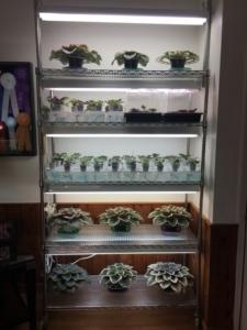Fives shelves of African violet plants growing under fluorescent light