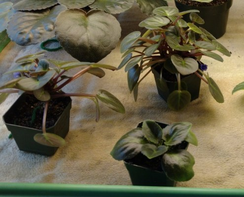 Violets being watered on matting