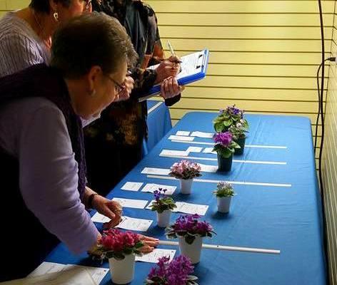 Three African violet judges evaluating miniature plants