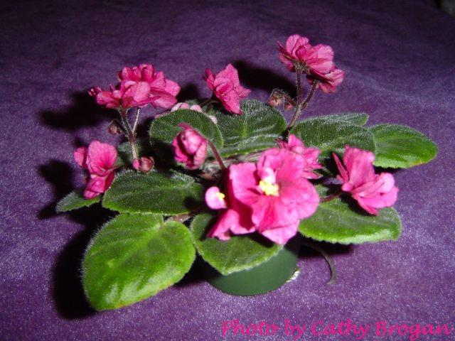 Aca's Glamour Puss (J. Brownlie) Semidouble-double plum-pink two-tone pansy. Medium green. Semiminiature (CA)