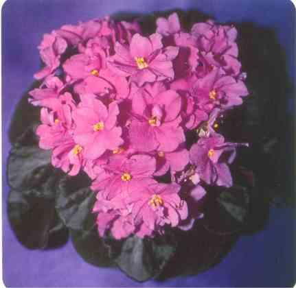 Aca's Pink Pansy 01/11/1985 (J. Brownlie) Semidouble pink. Medium green, plain, quilted. Large (CA)