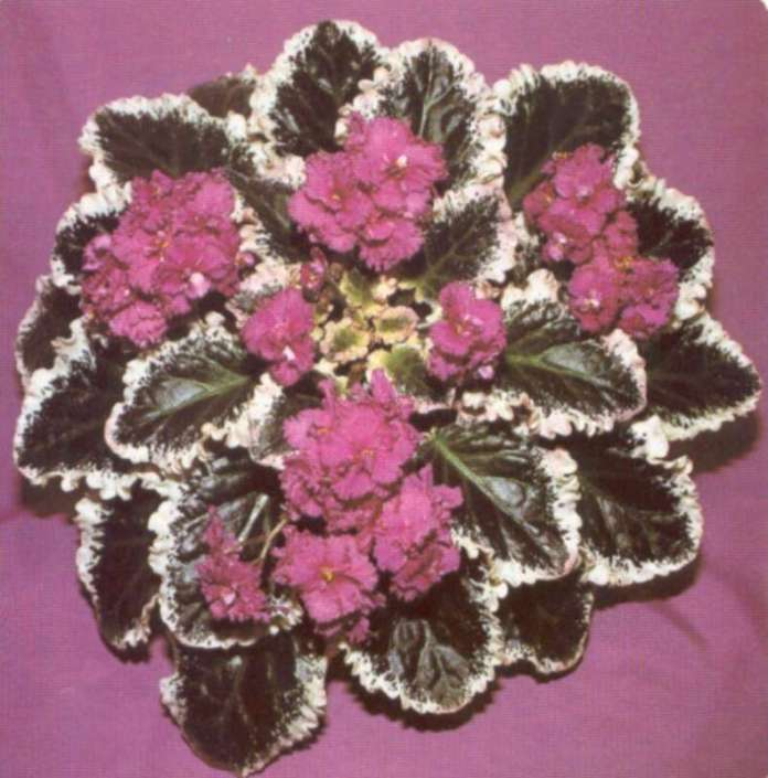 Ann 06/01/1987 (B. Bryant) Double rose-pink frilled/two-tone center, edge. Variegated dark green, white, some pink, longifolia, quilted, cupped, glossy, ruffled. Large (TX Hyb)