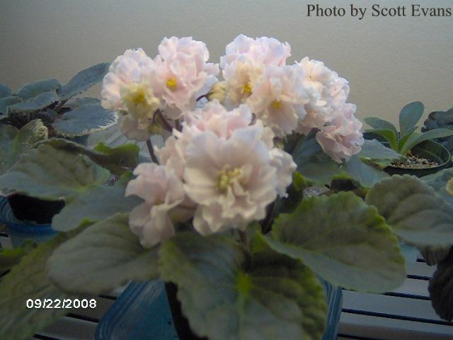 Cabbage Patch (E. Champion) Double light pink ruffled. Crown variegated dark green and ivory, plain. Standard