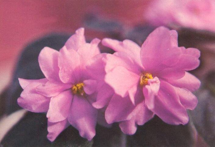 Cactus Rose 12/02/1980 (I. Fredette) Double bright pink. Plain. Standard