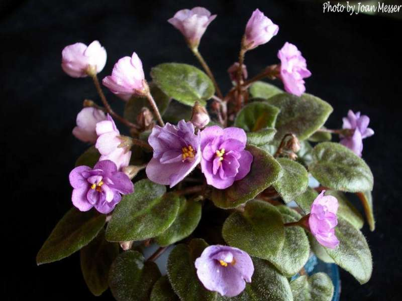 Gehr's Forget Me Not