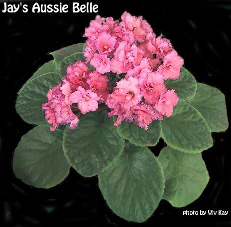 Jays' Aussie Belle