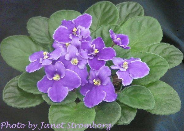 Ultra Violet Billy