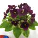 Jolly Jubilee 03/07/2008 (H. Pittman) Single-semidouble purple pansy. Crown variegated medium green and gold, plain. Miniature