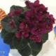 Jolly Wow 11/24/2014 (H. Pittman) Single-semidouble red pansy. Dark green, plain. Semiminiature