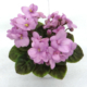 Optimara Rose Quartz 11/19/1988 (Holtkamp) Single-semidouble pink. Medium green, ovate, pointed, glossy, hairy. Miniature