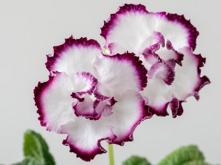 Streptocarpus 'DS-Forbidden Pleasure' (P. Enikeev) Large semidouble white/purple edge.